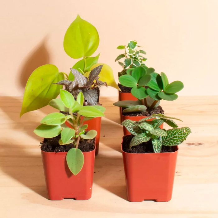 houseplants for sale Home Botanicals Mini Assorted House Plant Collection