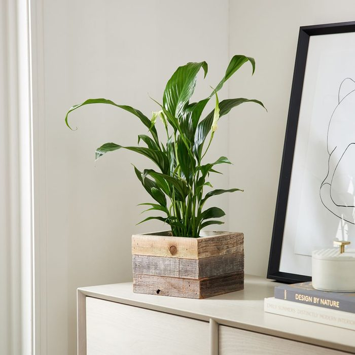 houseplants for sale Live Mini Peace Lily W Reclaimed Wood Planter Z