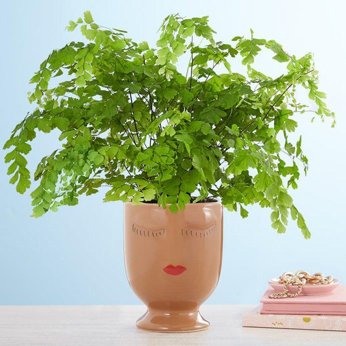 Maiden Hair Fern houseplants for sale