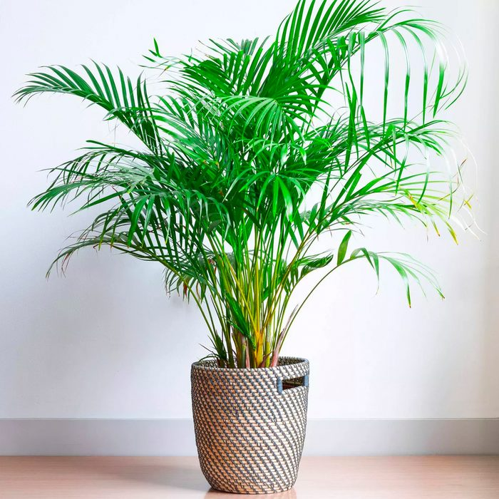 houseplants for sale Majesty Palm National Plant Network