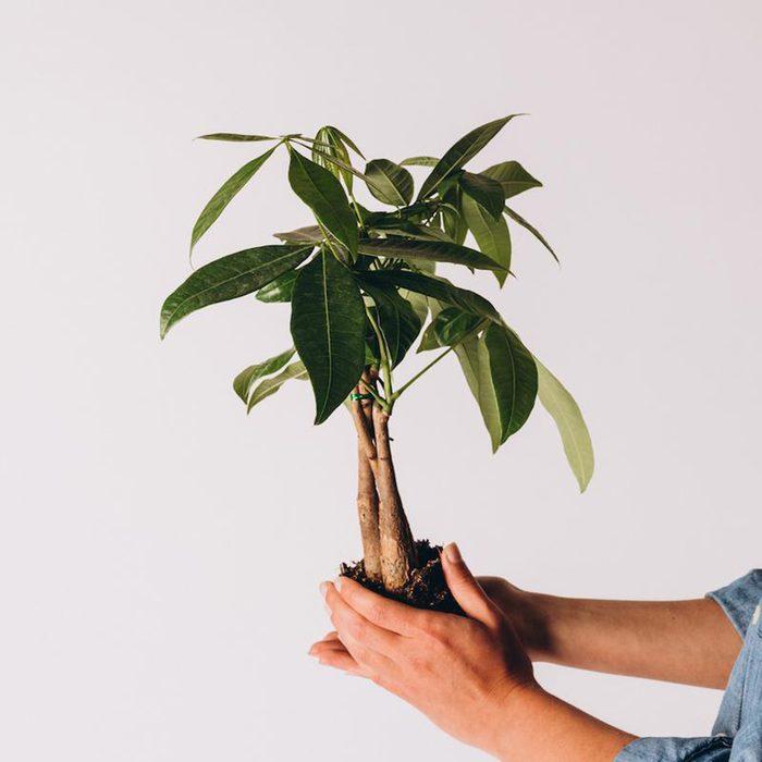 Money Tree houseplants for sale