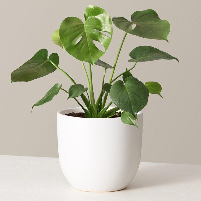 houseplants for sale The Sill Monstera Variant Medium Grant White Ed5dd3db 5b8d 4218 965f 16d254b23f10 1280x