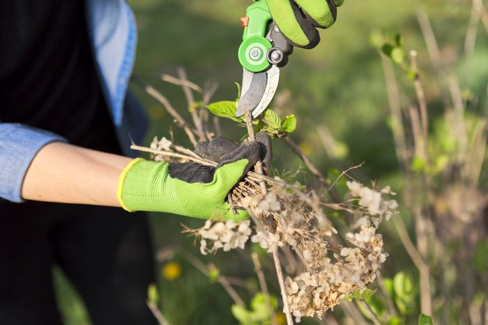 Gardener with garden shears cuts dry branches on spring hydrangea bush