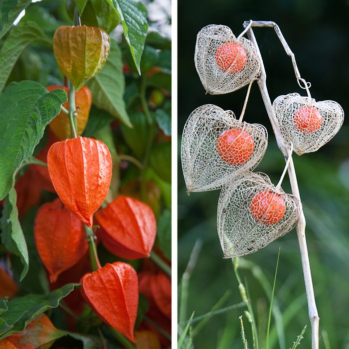 Chinese Lantern Plant Side By Side