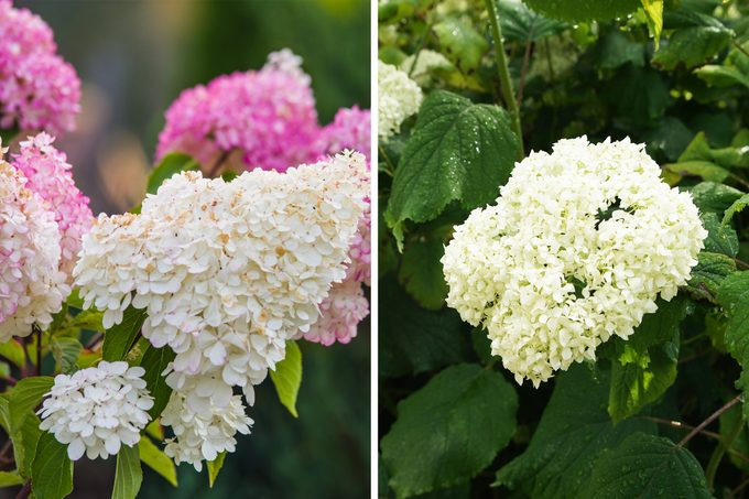 Panicle And Smooth Hydrangeas Side By Side
