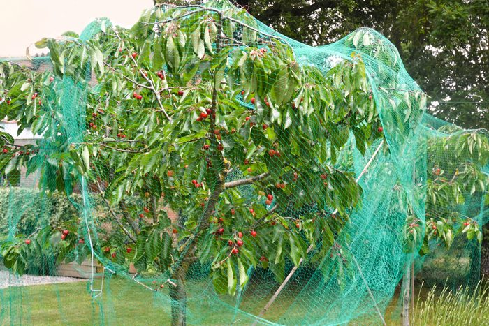 Cherry tree covered by a protective net