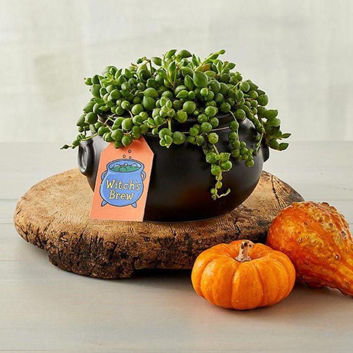 Spooky Cauldron Succulents Gift2