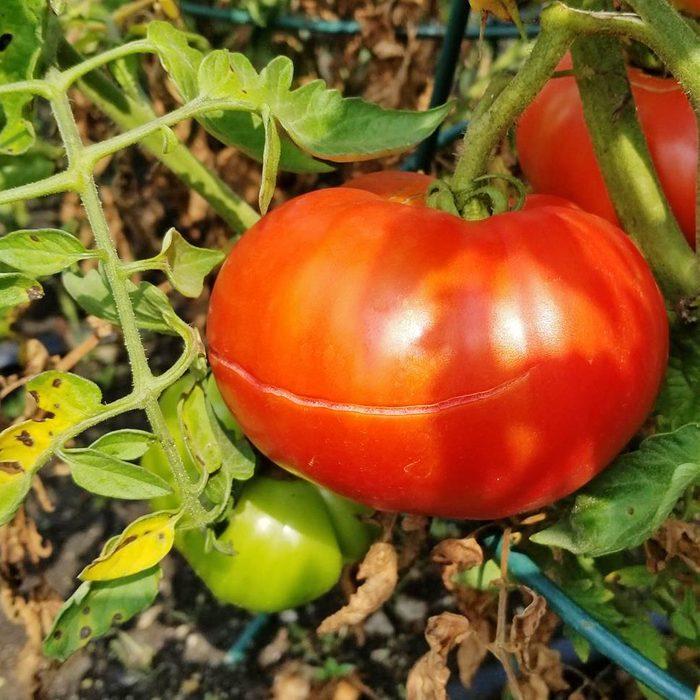 Split Tomatoes in the garden